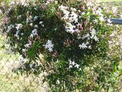 Jasmin in flower