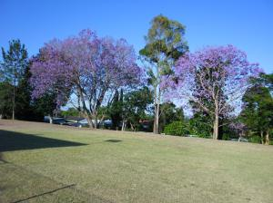 Jacarandas in flower.