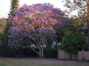 Jacaranda tree in flower