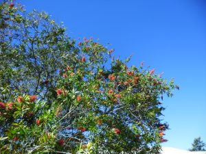 bottle brush tree in flower