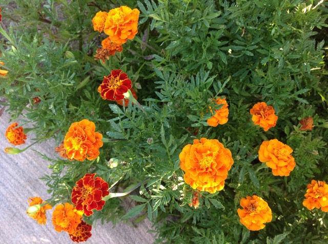 marigold-in-my-garden