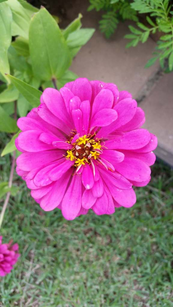 Summer flower, pink Zinnia. In our front gardn, March 2020.